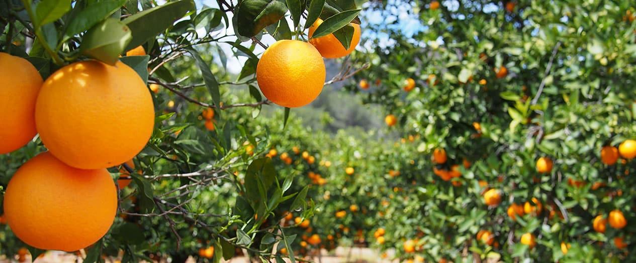Den Park der Zitrusfrüchte bereisen
